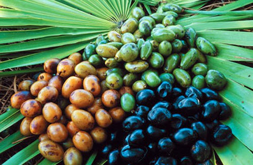 saw palmetto berries and plant